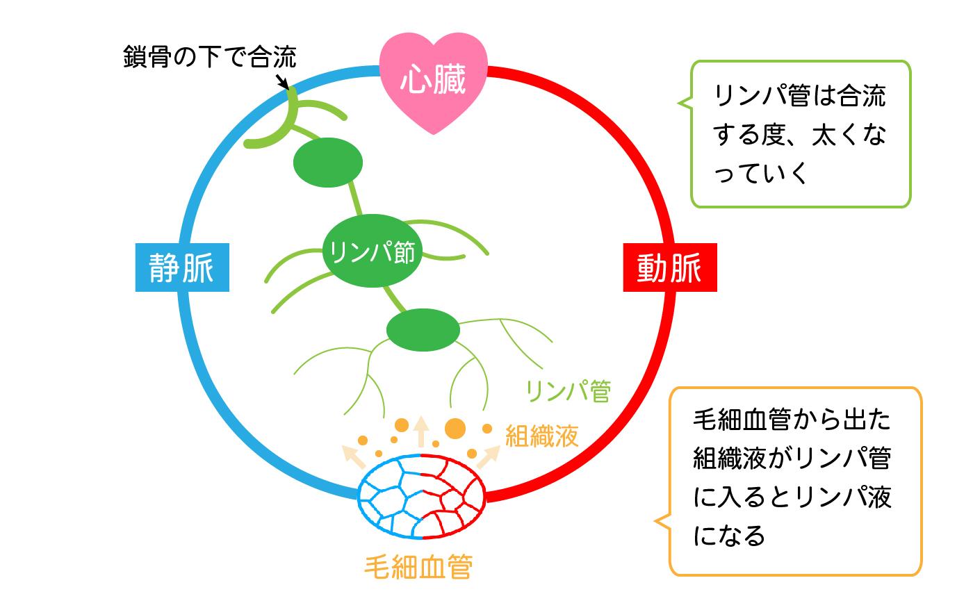 全身の血液の流れとリンパの関係2